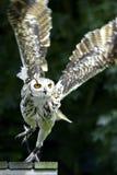 Hibou de vol photo libre de droits