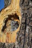 Hibou du Nouveau Mexique Photographie stock