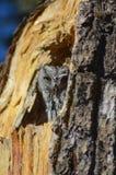 Hibou du Nouveau Mexique dans l'arbre Photo libre de droits