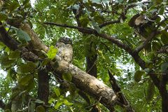 Hibou en bois chiné, Inde photo stock