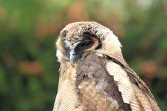 Hibou en bois de Brown Image stock