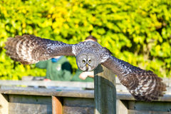 Hibou en vol Photo stock