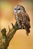 Hibou fauve dans le hibou fauve d'oiseau de Brown de forêt se reposant sur le tronçon d'arbre dans l'habitat foncé de forêt Bel o photo libre de droits