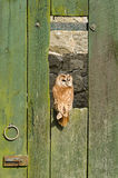 Hibou fauve sur la trappe de grange photo stock