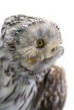 Hibou polaire Image libre de droits