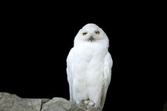 Hibou (polaire) blanc, séparément Photos libres de droits