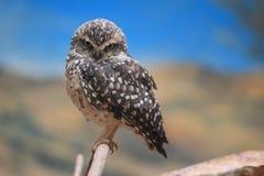Hibou pygméen eurasien Photo stock