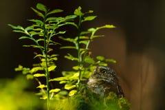 Hibou pygméen eurasien Images libres de droits