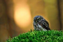 Hibou pygméen eurasien Image libre de droits