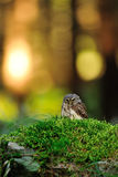 Hibou pygméen eurasien Image stock
