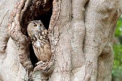 Hibou regardant à l'extérieur d'une cavité d'arbre Photographie stock libre de droits