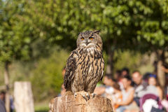 Hibou royal Photographie stock
