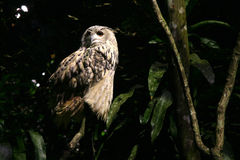Hibou - safari de nuit, Singapour photos stock