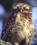 Hibou sauvage de sommeil Photographie stock libre de droits