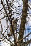 Hibou se cachant dans un arbre Photographie stock