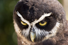 Hibou Spectacled Photo stock