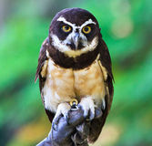 Hibou Spectacled, perspicillata de Pulsatrix Photo libre de droits