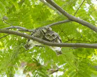 Hibou sur l'arbre vert Photos stock