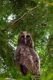 Hibou sur un arbre Photo libre de droits