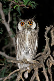 Hibou White-faced Images stock