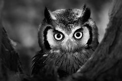 Hibou Whitefaced Photos stock