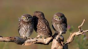 Hiboux Jeu de noctua d'Athene de trois jeune petits hiboux sur une branche sèche sur un beau fond d'été banque de vidéos