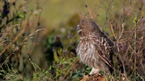 Hiboux Le jeune noctua d'Athene de petits hiboux se repose sur une pierre dans l'herbe et nettoie ses plumes banque de vidéos