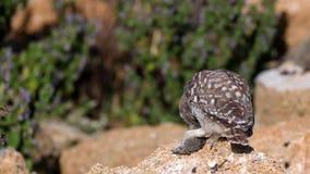 Hiboux Le jeune noctua d'Athene de petits hiboux se repose sur une pierre, tient une souris dans sa patte et des regards à la cam clips vidéos