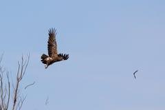 Hibrid一点被察觉的老鹰 免版税库存照片