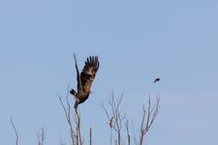 Hibrid Lesser Spotted Eagle Arkivbilder