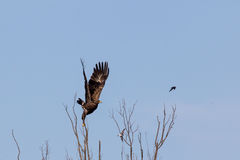 Hibrid Lesser Spotted Eagle. A Spotted Eagle take off Stock Images