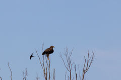 Hibrid Lesser Spotted Eagle. A Lesser Spotted Eagle on the tree Stock Image