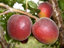 Hibrid of plum and apricot Royalty Free Stock Image