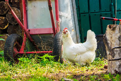 Сhicken breeds Araucana. The La araucana chicken breed walks on the farm Royalty Free Stock Images