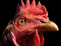 Сhicken head. Image of head of the chicken, close-up, in profile Stock Photos