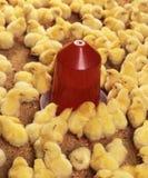 hickens фермы Стоковые Фотографии RF