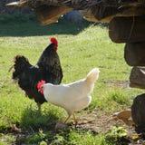 Hickens liberi della gamma su un'azienda agricola Fotografia Stock