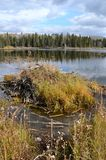 Hickey Lake Shoreline with a beaver lodge, Duck Mountain, Provincial Park, Manitoba. Trees at the shoreline of hickey lake, duck mountain provincial park Royalty Free Stock Images