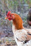 Chicken on the farm, organic farming royalty free stock images