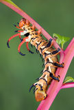 Hickory Horned Devil. A hickory horned devil moth caterpillar is crawling on a red stem Royalty Free Stock Photography