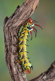 Hickory horned devil on branch Royalty Free Stock Images