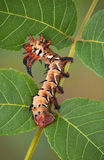 Hickory horned devil on walnut tree Stock Image