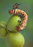 Hickory horned devil on walnuts Stock Photos