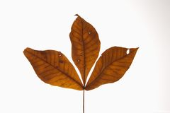 Hickory leaves on white. stock image