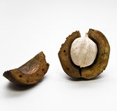 Hickory Nut Stock Photography