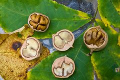 Hickory nuts. That have been cracked open or cut  to expose the fruit or seed inside Stock Photography