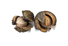 Hickory Nuts Open Royalty Free Stock Images