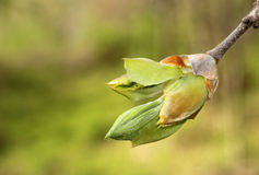 Hickory Tree Bud Stock Photo