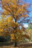Hickory Tree in Fall royalty free stock photography