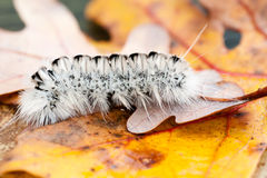 Hickory Tussock Caterpillar Stock Photography